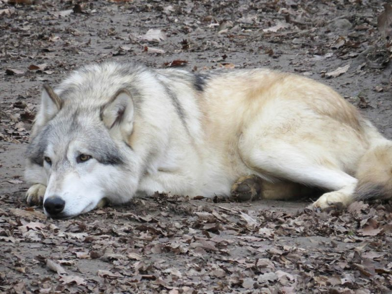 liegender Wolf im Wolf Science Center